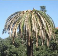 Lotta e contenimento del  Punteruolo Rosso delle palme (Rhynchophorus ferrugineus)